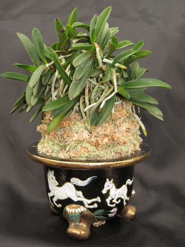 Neofinetia Falcata Care Sheet New World Orchids