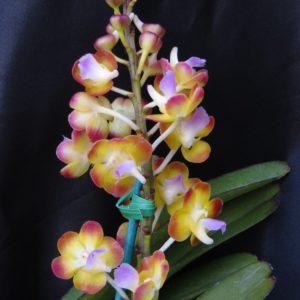 Vandaceous Plants