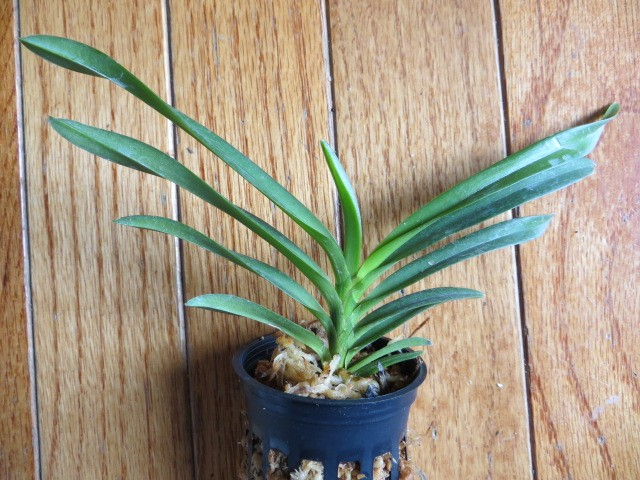 V. Green Light (<em>Christensonia vietnamica</em> x <em>Neof falcata</em> 'Amami') $20