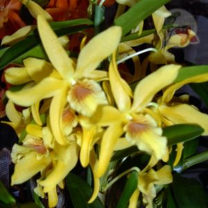 Other Orchids
