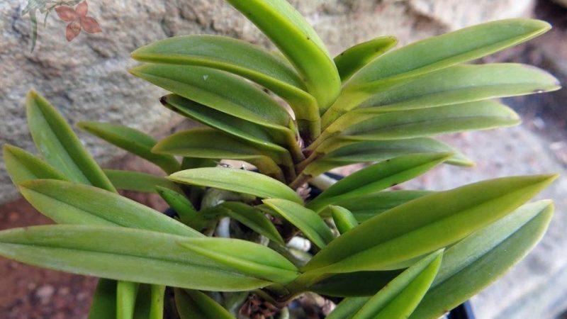 Questions about Neofinetia falcata (fukiran)