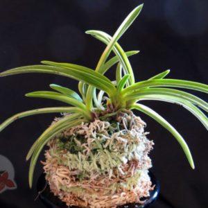how to grow vanda orchids in pots