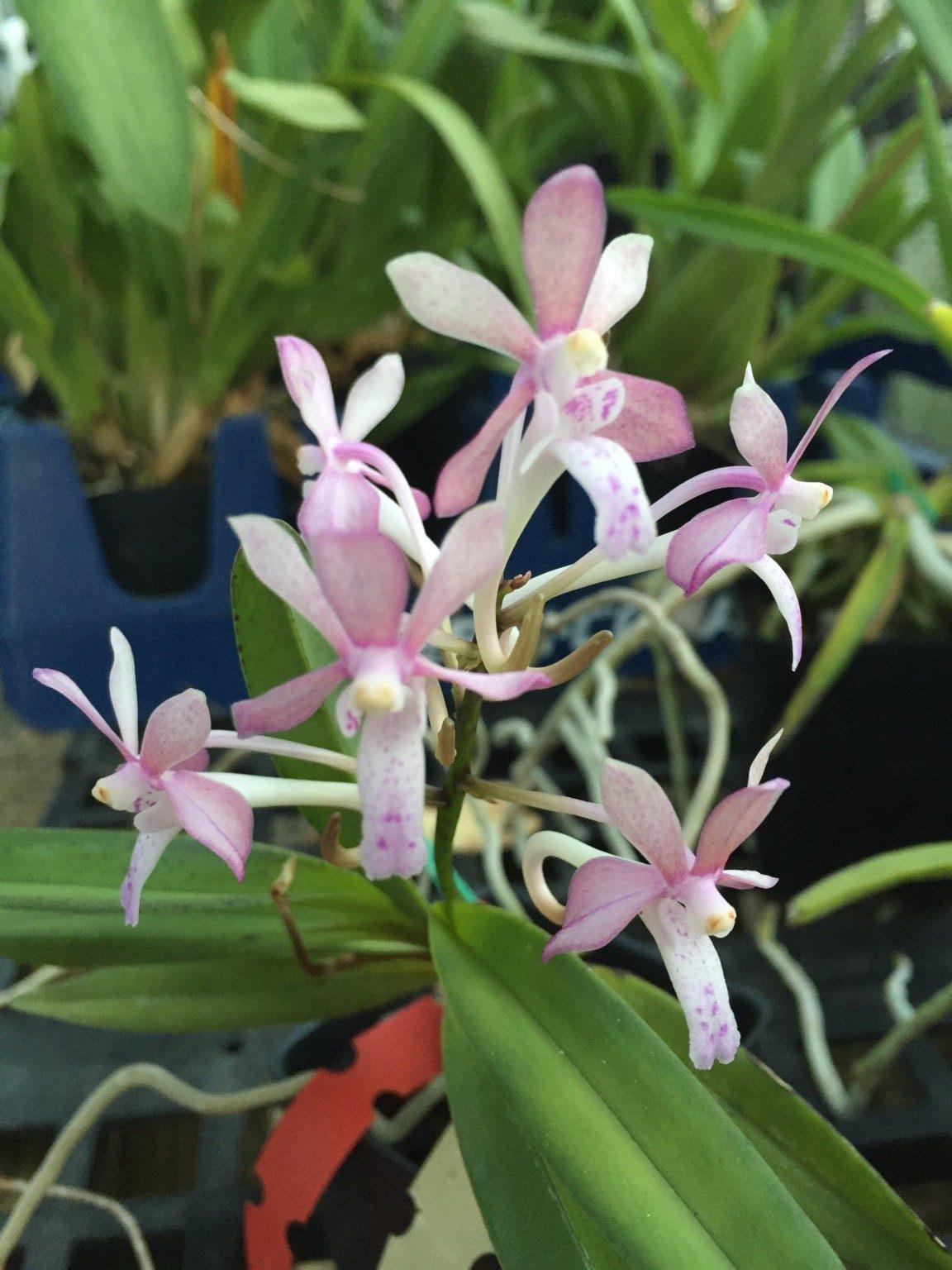 Vanda Orchids Red Magic