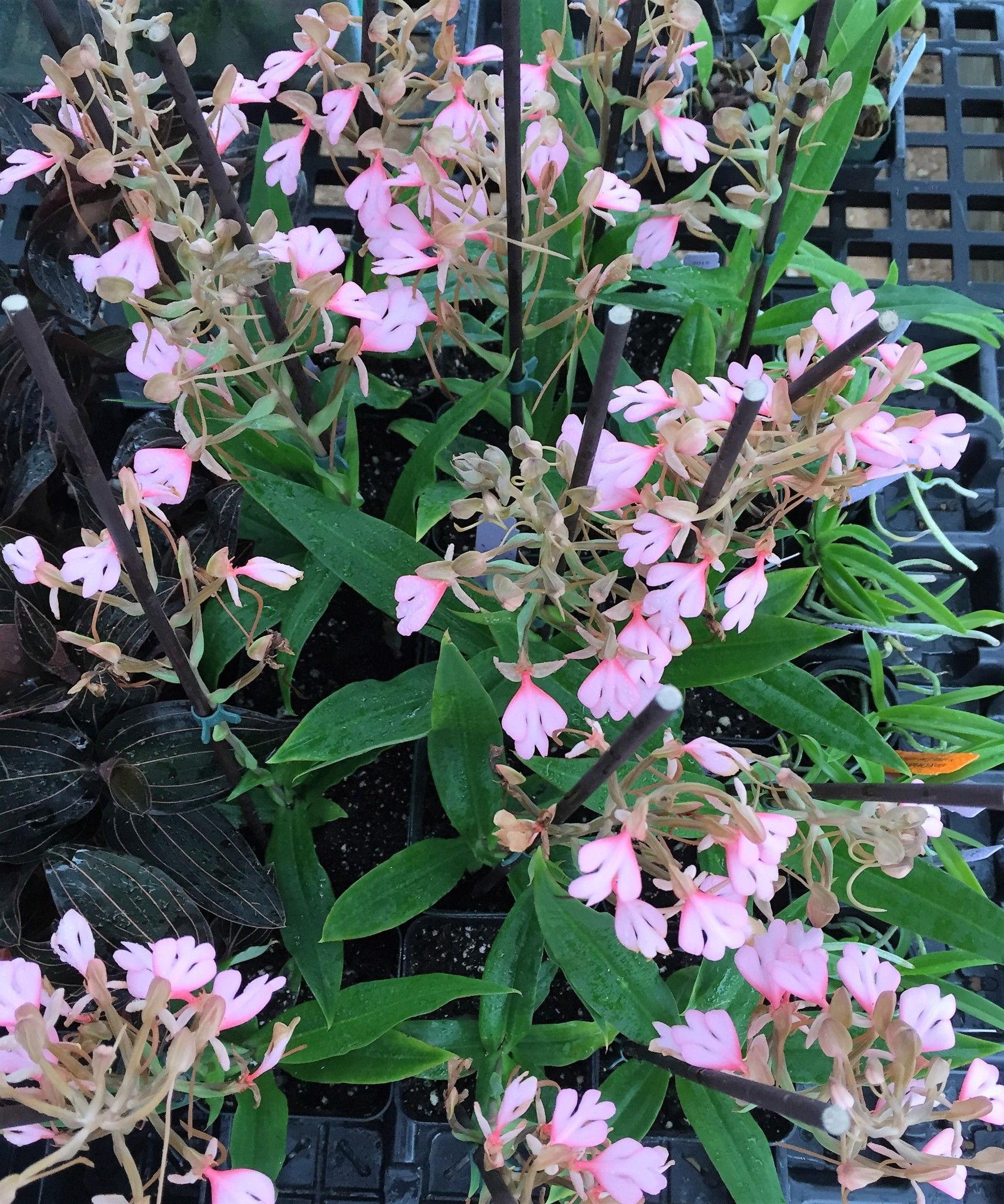 Habenaria Rhodocheila New World Orchids