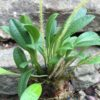 Porroglossum hystrix