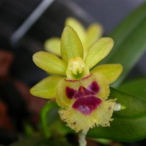 Haraella (Gastrochilus)