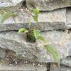 Lepanthes adrianae