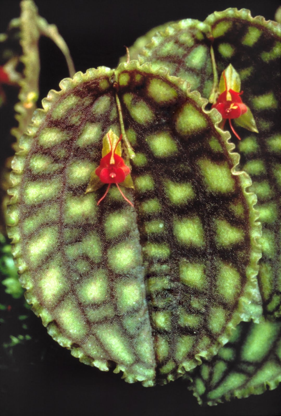 Lepanthes Calodictyon New World Orchids