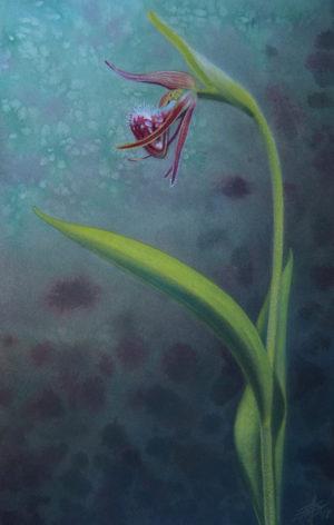 Cypripedium arietinum art