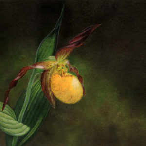 Cypripedium parviflorum painting