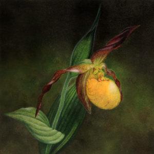 Cypripedium parviflorum painting detail