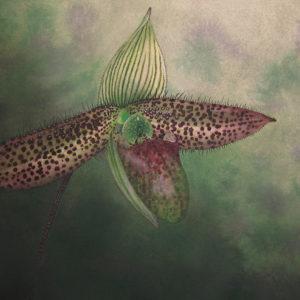 Paphiopedilum wardii art