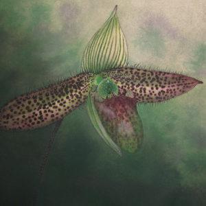 Paphiopedilum wardii art detail