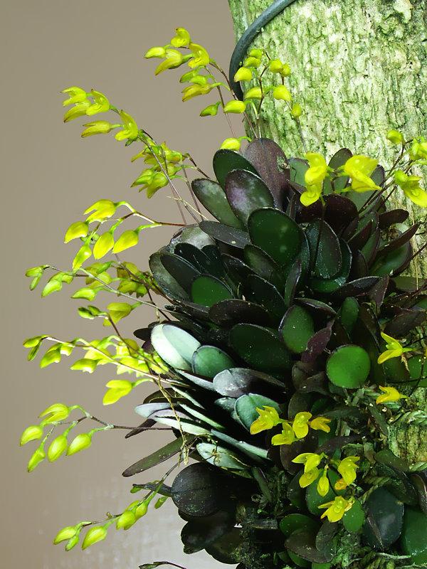Specklinia Pleurothallis Grobyi New World Orchids