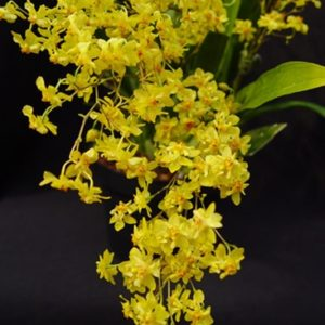 Oncidium Twinkle 'Sunlight'