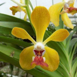 Vanda Orchidom Sunshine