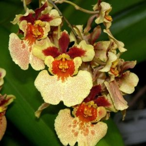 Rodrumnia Orchidom Orange Delight