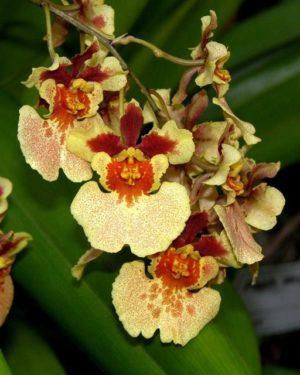 Rodrumnia Orchidom Orange Delight