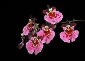 Rodrumnia orchidom happy choice