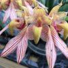 Bulbophyllum bicolor