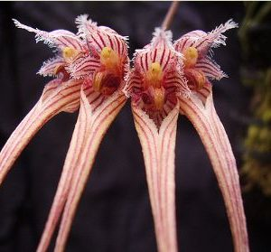 Bulbophyllum sanguineopunctata