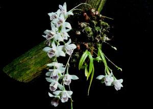 Dendrobium microbulbon