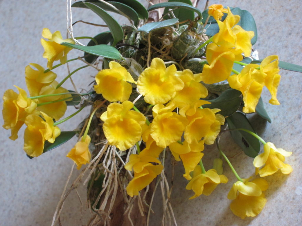 Dendrobium Jenkinsii New World Orchids