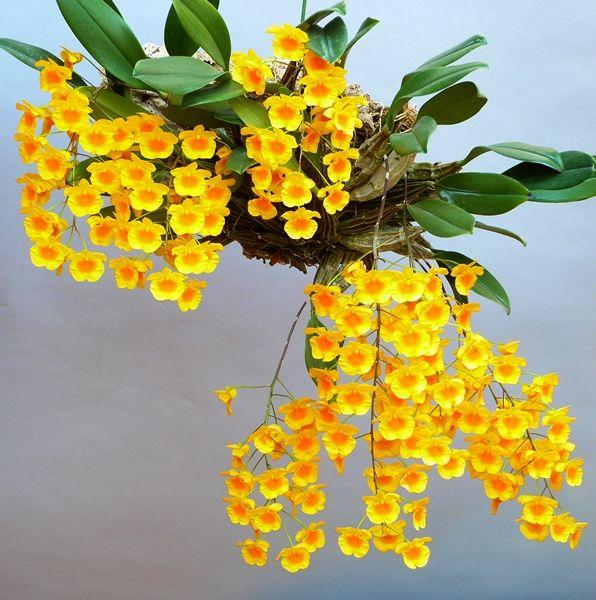 Plantes étonnantes (ou belles ou intéressantes ou marrantes ou ce que vous voulez) - Page 2 Dendrobium-lindleyi