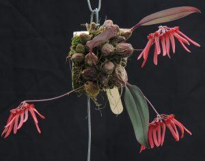Bulbophyllum thaiorum