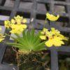 Erycina pusillum