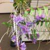 Dendrobium Kuniko
