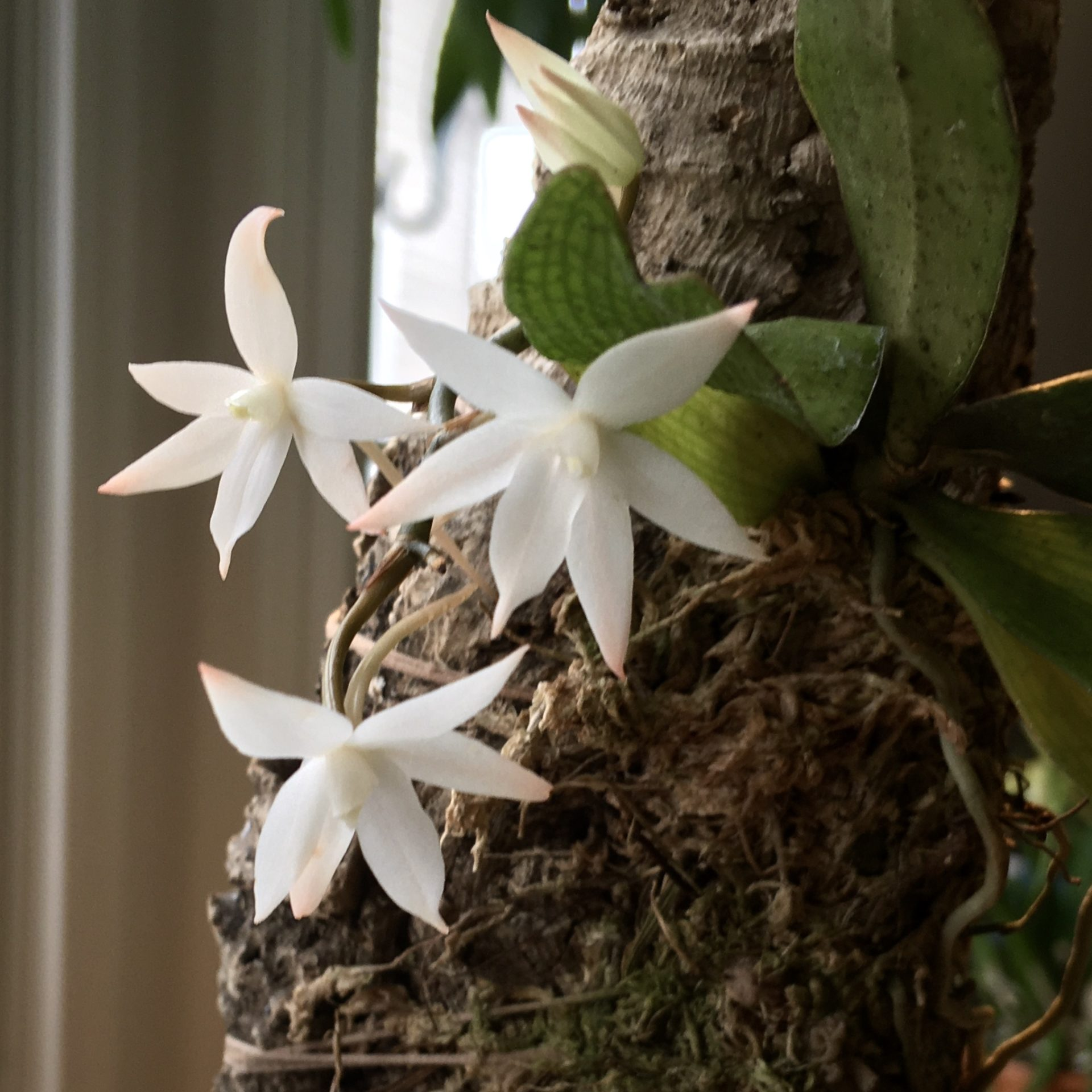 Aerangis blooming
